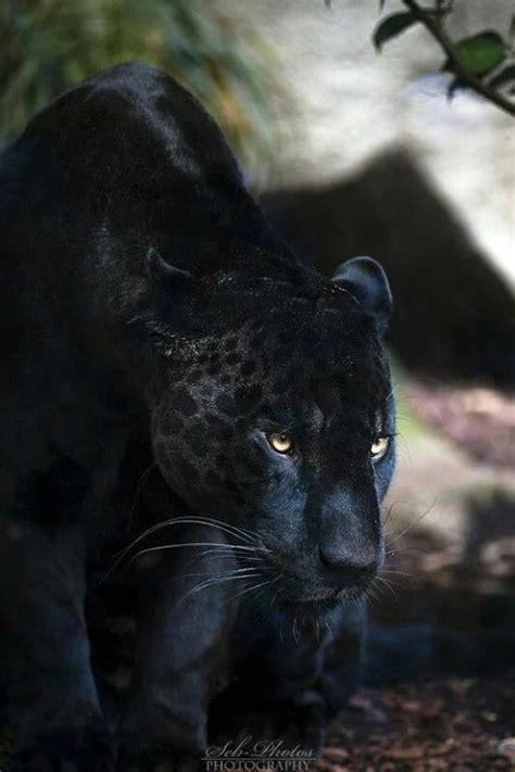 pictures of black jaguars las 25 mejores ideas sobre grandes felinos en y