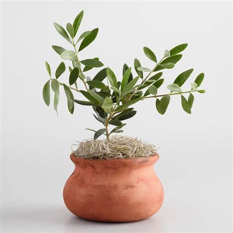 ulivi in vaso pianta ulivo in vaso 28 images ulivo in vaso piante da