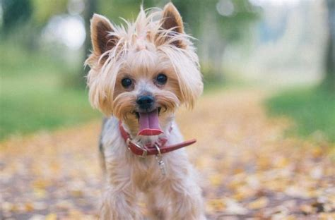 Yorkie haircuts for males and females (60   pictures)   Yorkie.Life