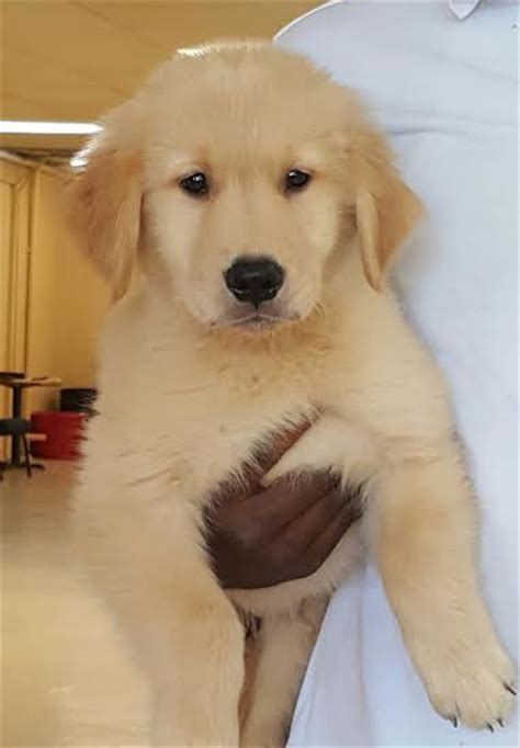 trained golden retriever sale trained dogs for sale family obedience protection dogs