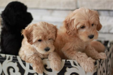 2017 Colors Of The Year by San Diego Goldendoodle Breeder