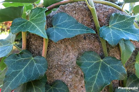 Hedera Helix Zimmerpflanze by Zimmerefeu Efeu Als Zimmerpflanze Hedera Helix Pflege