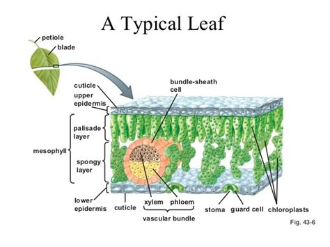 leaf palisade cell diagram plant leaf palisade layer report574 web fc2