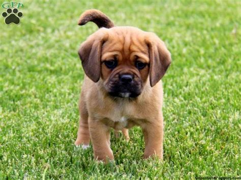 pictures of puggle puppies image gallery puggle puppies