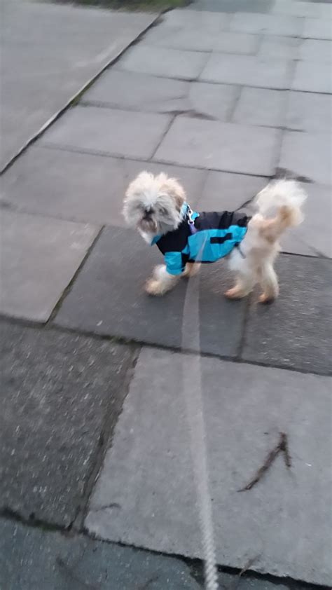 shih tzu for adoption uk shih tzu for sale or adoption birkenhead merseyside pets4homes
