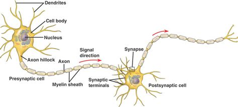 simple neuron diagram structure function the nervous system anatomy and more