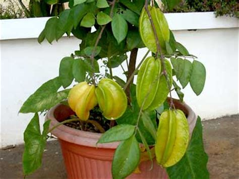 tanaman apotik hidup  manfaatnya tanamanbaru