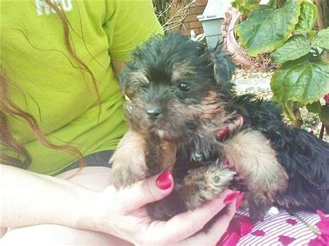 puppies for sale ta fl puppies for sale in panama city fl breeds picture