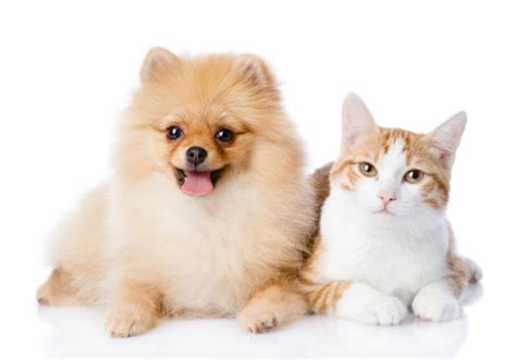 pomeranian and cats 12 breeds that get along great with cats page 2