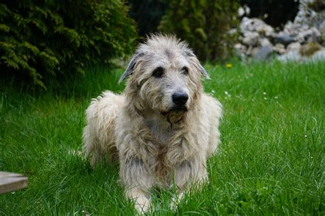 Wolfhound Shed by 10 Of The Most Expensive Breeds To Own