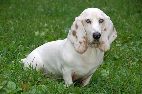 Coonhound Shedding by The In World Basset Hound Dogs