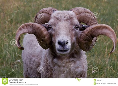 picture of a ram a ram with horns stock photo image of strong summer
