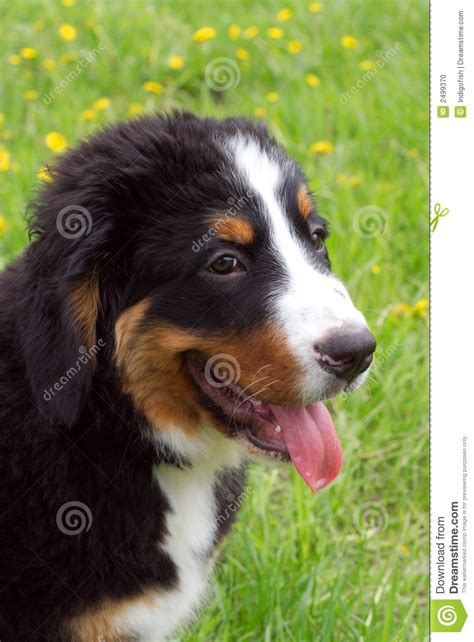 bernese mountain price bernese mountain puppies price 100000 19593781jpg breeds picture