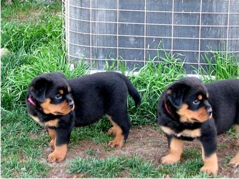 rottweiler puppies for sale montreal and adorable rottweiler puppies for adoption and adorable breeds picture