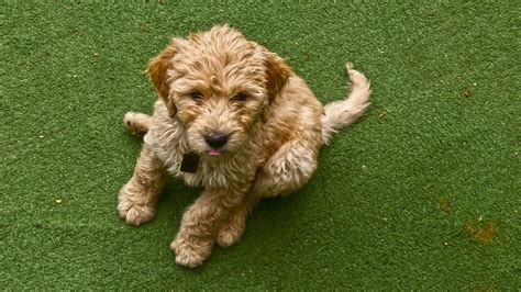 how to your puppy to stay how to teach your to stay advice tips