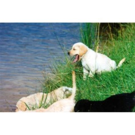 lab puppies for sale in charleston sc greenbriar kennels labrador retriever breeder in brunson south carolina listing id