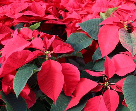 poinsettia christmas flower history plant care poison