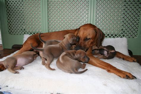 registered rhodesian ridgeback puppies for sale rhodesian ridgeback puppies for sale chester cheshire pets4homes