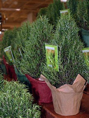delicious holiday gift rosemary plants
