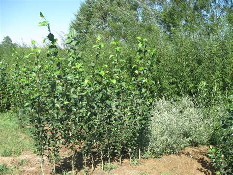 fast growing willow for sale