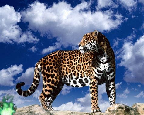 images jaguar jaguar animal wallpapers jaguar pictures images 1080p