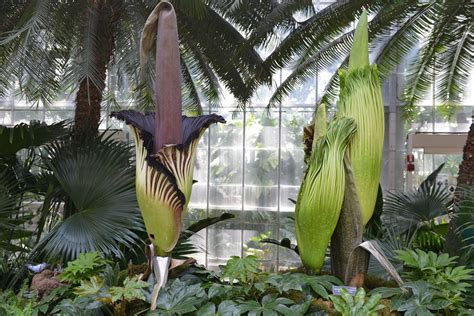 corpse flower botanical garden corpse flowers bloom at the u s botanical garden ovs landscape architecture