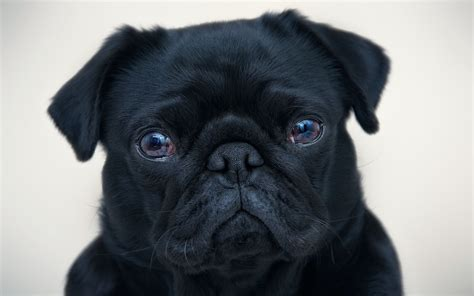 black pugs black pug wallpaper 20673