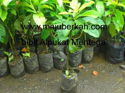 Jual Bibit Aren Unggulan bibit nylung bibit tanaman nylung jual bibit tanaman