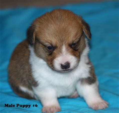 corgi puppies for sale in wisconsin view ad pembroke corgi puppy for sale wisconsin soldiers grove