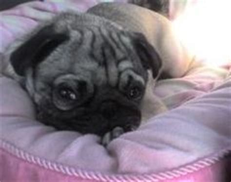 pug skin allergy remedies 1000 images about stuff on diy and crafts allergies and skin