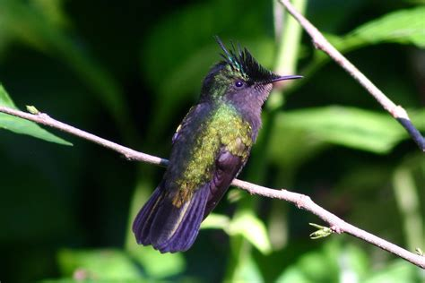 humming bird pets