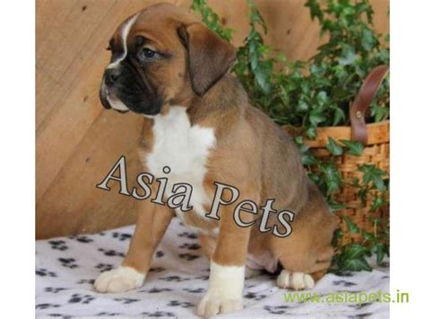 golden retriever puppies for sale in delhi boxer for sale in delhi golden retriever dogs new delhi boxer 5