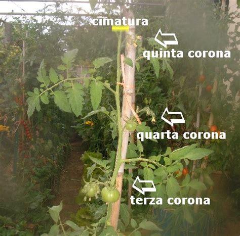 come piantare pomodori in vaso coltivare pomodori cimare e sfogliare i pomodori note