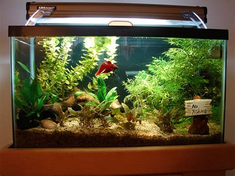All about betta fish: red veil tail betta in a planted aquarium
