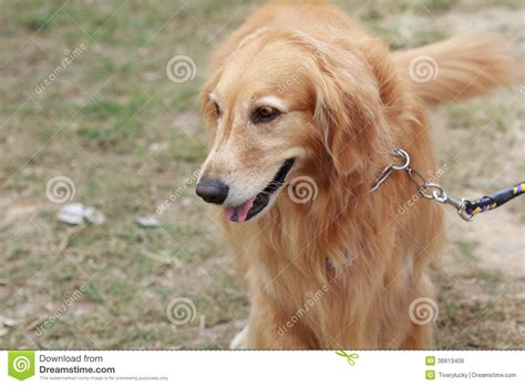 purebred golden retriever puppy purebred golden retriever royalty free stock image image 36813406