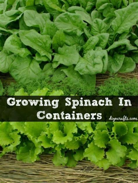 spinach container garden the 35 easiest container and pot friendly fruits
