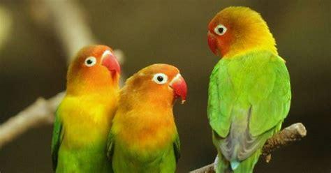 Mengatasi Masalah Penangkaran Kenari H972 tips mengatasi masalah lovebird telat ngekek di lapangan