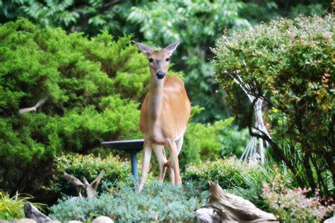 keeping deer out of vegetable garden talentneeds