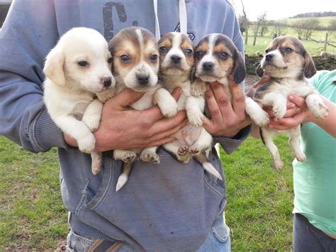 litter of puppies a wonderful litter of tri colour beagle puppies abergavenny monmouthshire pets4homes