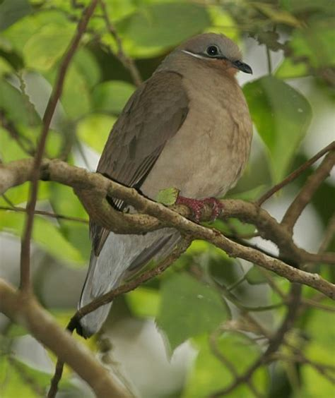 phapitreron leucotis white eared brown dove