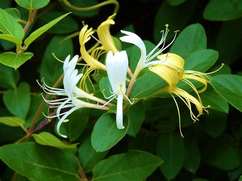 wild honeysuckle vine photograph by jeanette oberholtzer