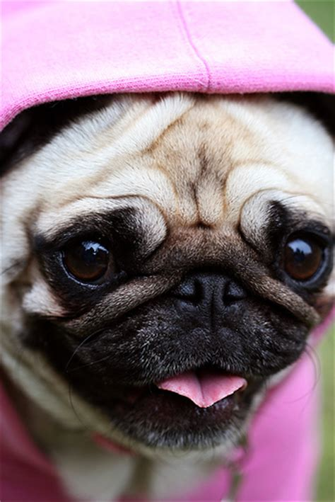 the pink pug pretty pink pug portrait flickr photo