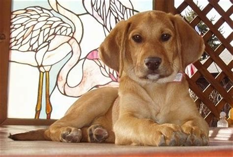 golden retriever and beagle mix beago breed information and pictures