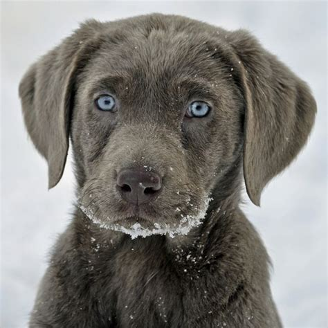 blue lab puppies 25 best ideas about silver labs on silver lab puppies silver labrador