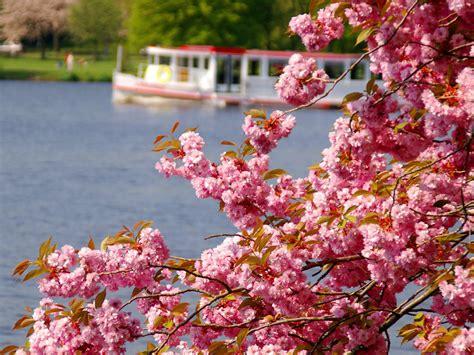 cherry blossom festival shillong is hosting international cherry blossom festival