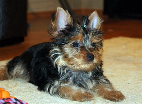how much should a yorkie eat caring for your terrier puppy dogs in our photo