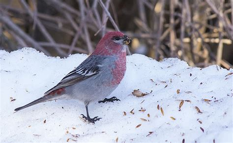 a fond farewell to alberta s winter birds bird canada