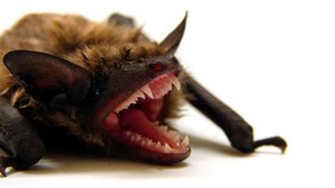 as bats hibernate so does rabies the scientist magazine 174