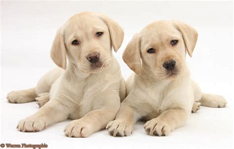 puppy yellow lab labrador retriever for sale akc white and yellow