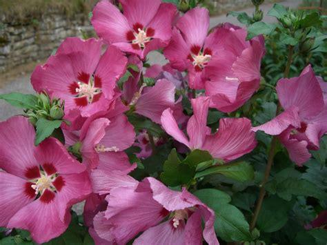 Die Schönsten Zimmerpflanzen 4396 by Hibiscus Syriacus Pflege Gartenhibiskus Hibiscus Syriacus